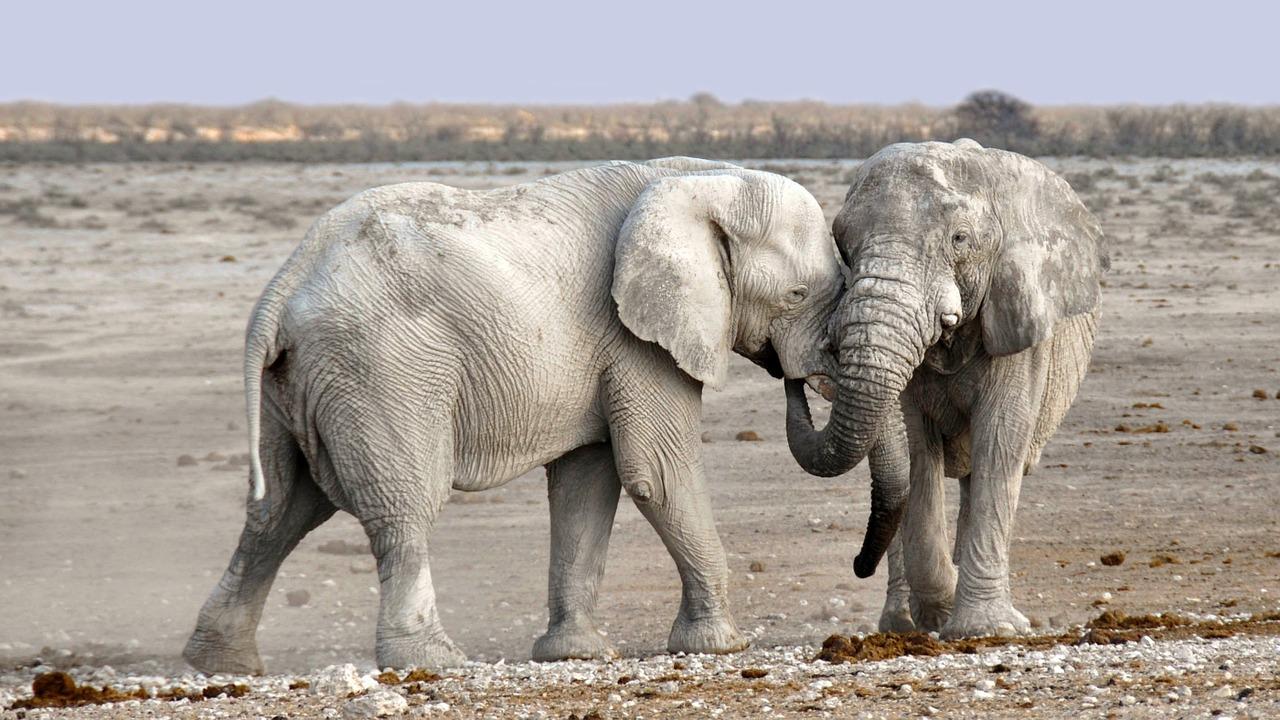 """Lwy otoczyły bezbronne słoniątko. Matka zaczęła panikować… wtedy pojawiła się inna rodzina słoni [<span class=""""caps"""">WIDEO</span>]"""