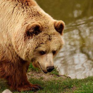 Polacy zaatakowani przez niedźwiedzia! Jeden z nich nie żyje