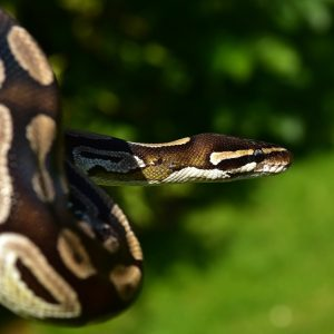 Rutkowski miał racje co do pytona? Widziano ogromnego węża w Toruniu