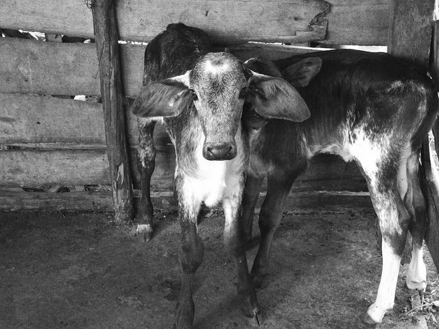 Transport śmierci zatrzymany. Zwierzęta przewożone były w makabrycznych warunkach