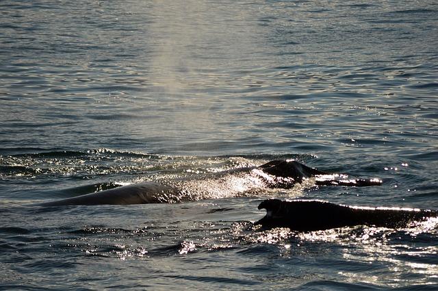 Udana akcja ratunkowa. Udało się uratować od śmierci wiele wielorybów