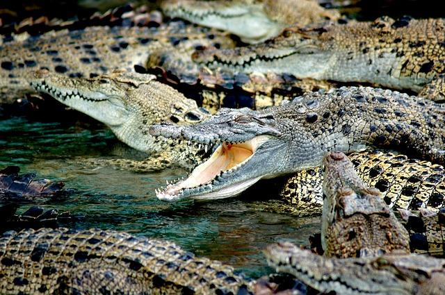 Krokodyl ludojad? Szokujące znalezisko w żołądku wielkiego gada