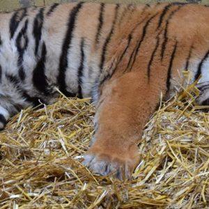 """Uratowany tygrys umiera! """"Jego szanse są minimalne"""""""
