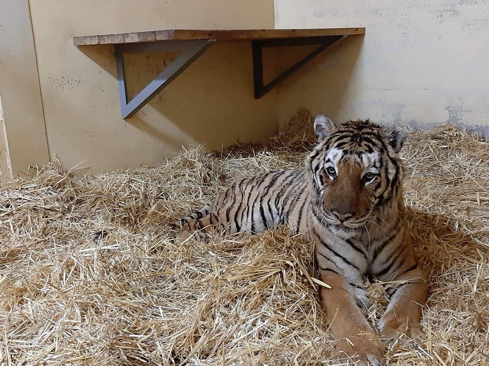 Tygrys z transportu śmierci dzielnie walczy o życie. Zjadł pierwszy posiłek
