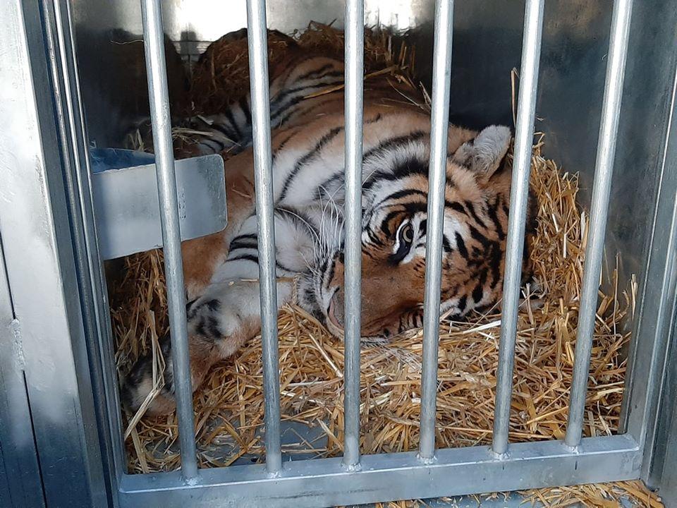 Z ostatniej chwili! Uratowane tygrysy przekroczyły granicę Polski!
