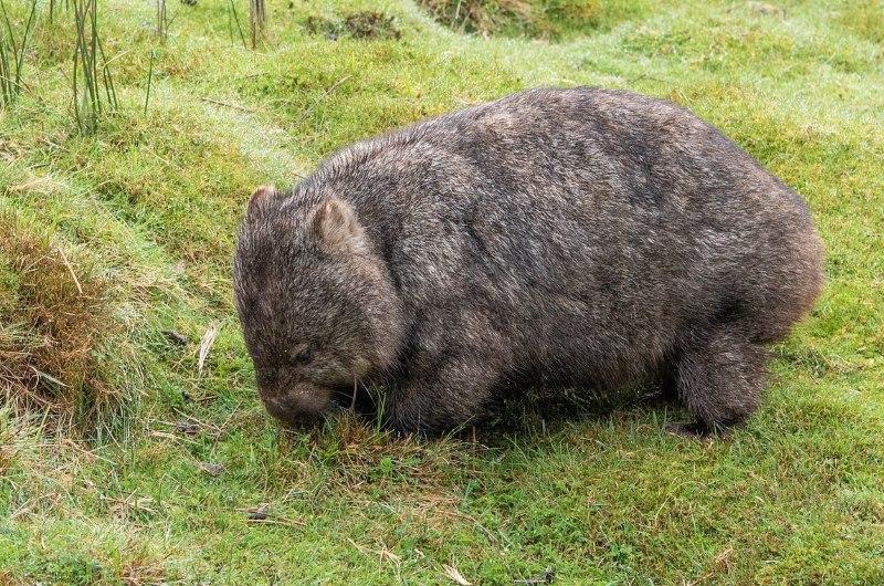 Zaskakująca odkrycie! Wombaty ratują inne zwierzęta z pożarów w Australii?