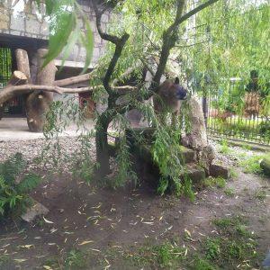 """Puma Nubia w Śląskim Ogrodzie Zoologicznym. ZOO: """"Wygląda na zadbanego zwierzaka"""""""