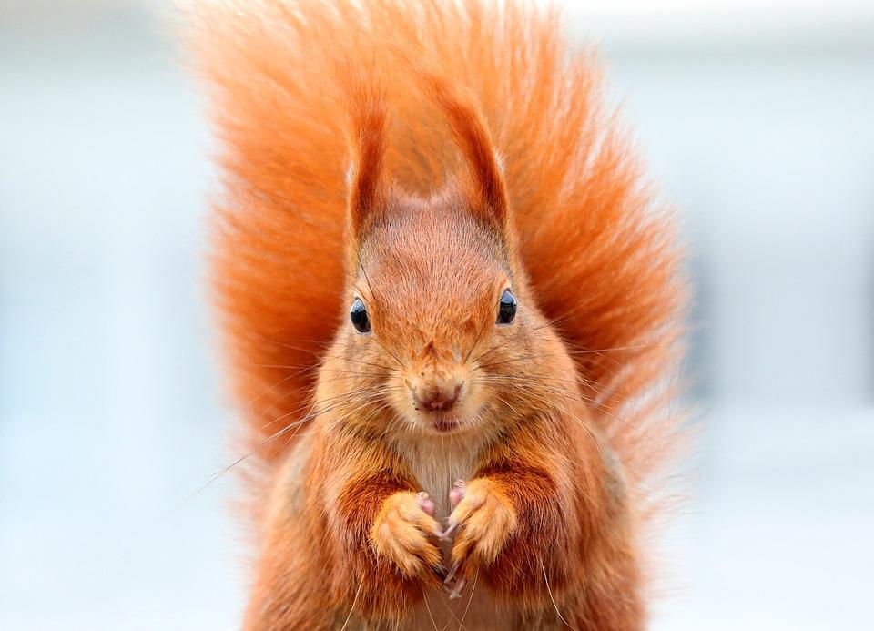 Szalona wiewiórka terroryzuje dzielnicę! Wchodzi pod ubranie i dotkliwie kąsa!